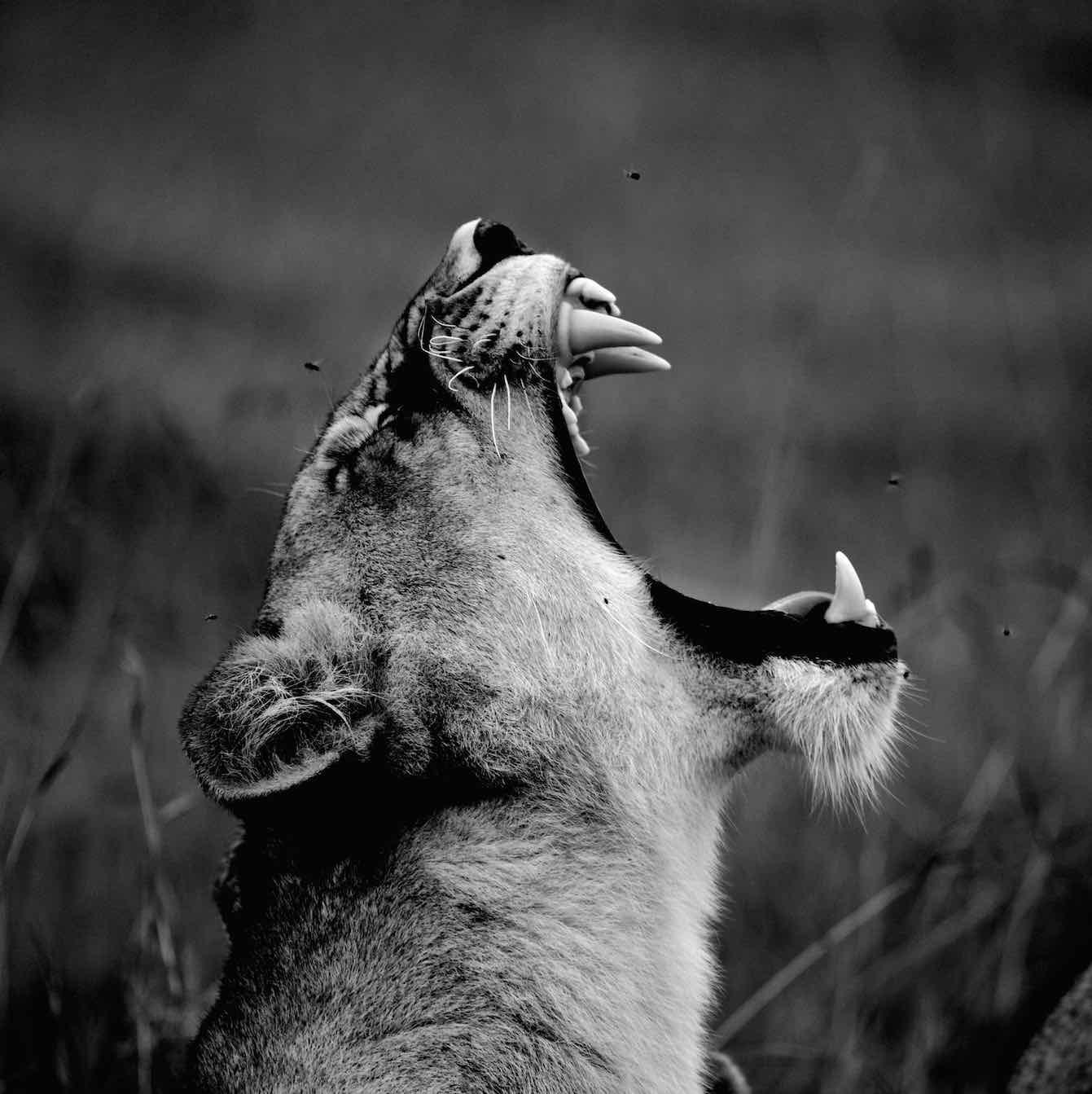 Le cri de la Lionne