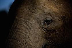 Gros plan d'éléphant #2