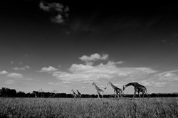 La balade des girafes