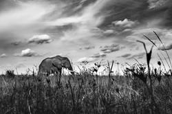 A raz d'éléphant