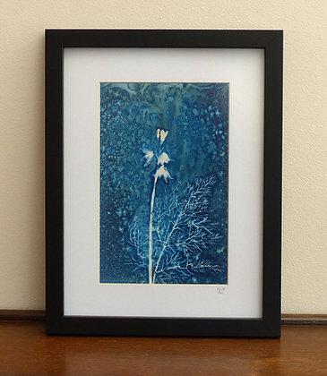 Bluebell (Framed Cyanotype)