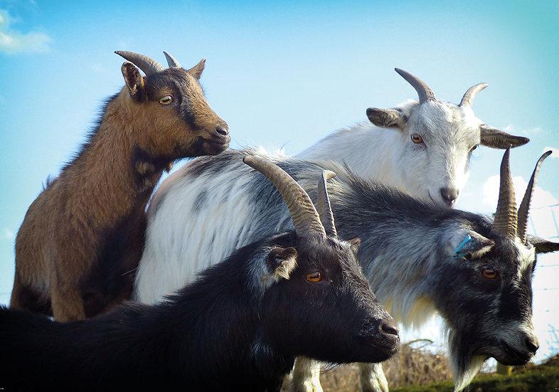 Goat Gang (Greeting Card)
