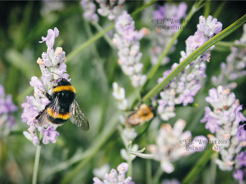 Bees on Lavender (Greeting Card)