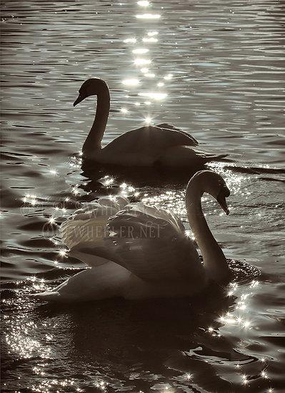 Marlow Swans (Greeting Card)