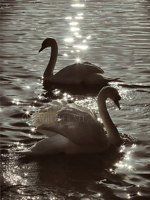 Marlow Swans (Greeting Card)