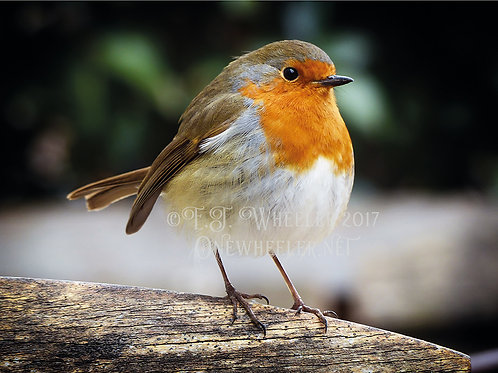 Robin (Greeting Card)