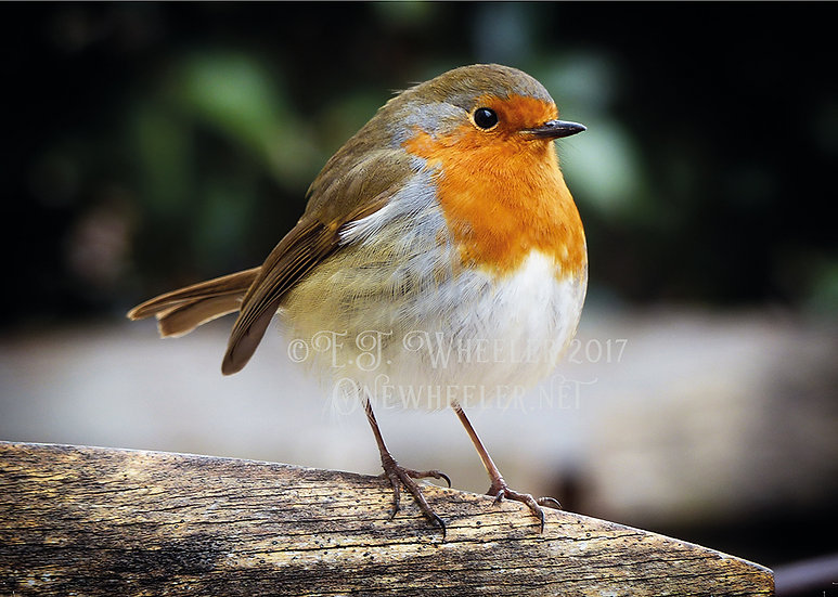 Robin (Greeting Card)