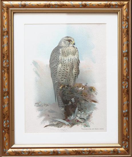 Antique print of hawk (Framed Print)