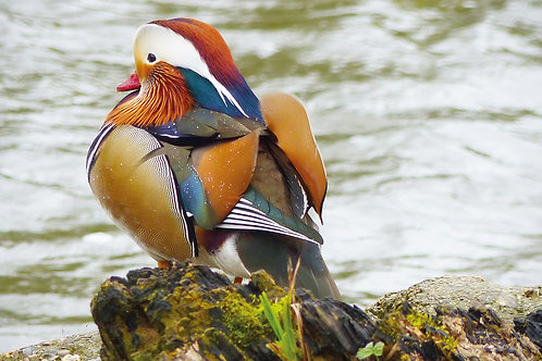 Mandarin Duck (Greeting Card)