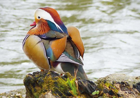 Mandarin Duck (Greeting Card)