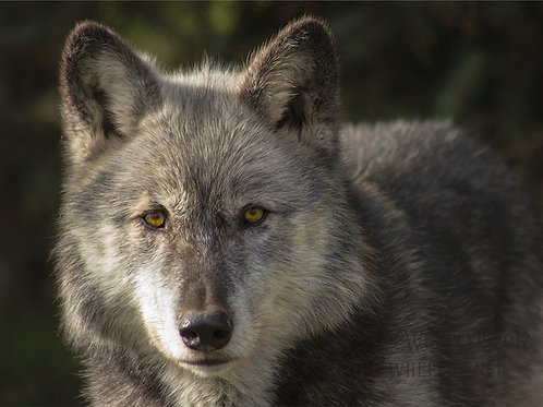 Wolf Stare (Greeting Card)