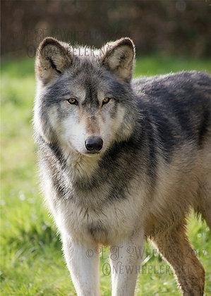 Waiting Wolf (Greeting Card)