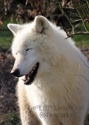 Arctic Wolf (Greeting Card)