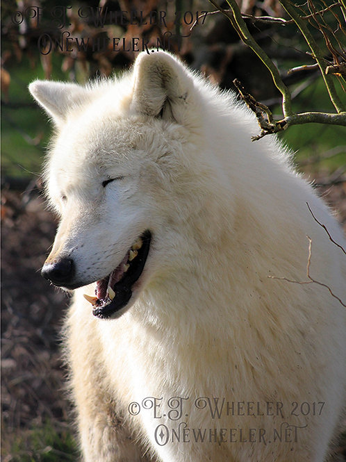 Arctic Wolf (Greeting Card)