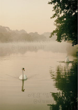 Swans at Pangbourne (Greeting Card)