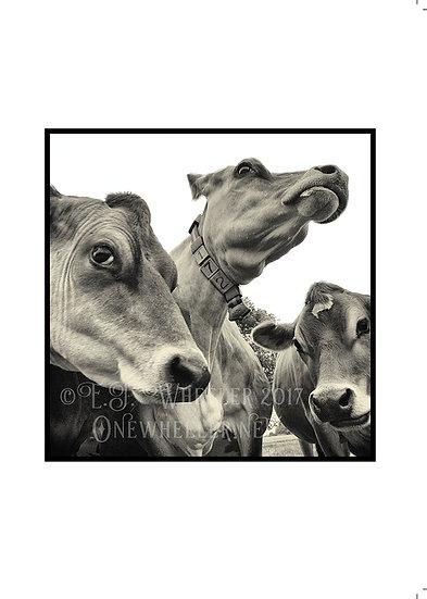 Curious Cows (Greeting Card)