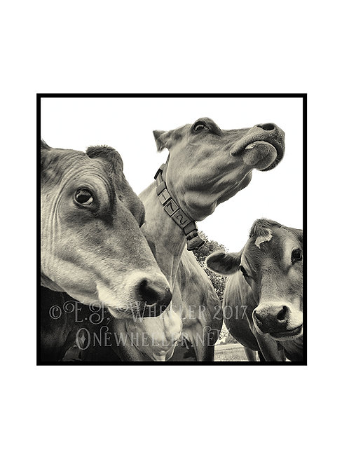 Curious Cows (Greeting Card)