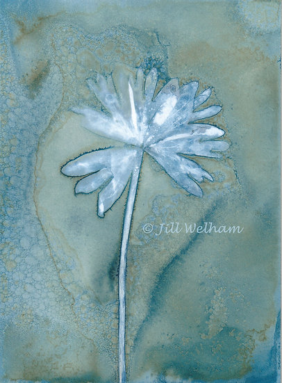 Winter Aconite Leaf Cynotype Original by Jill Welham