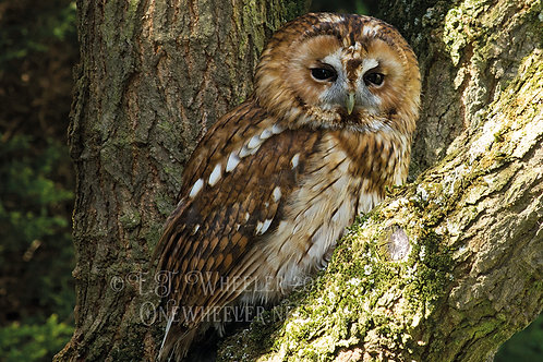 Tawny Owl (Greeting Card)