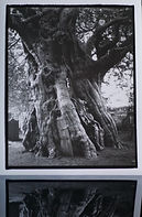 Crowhurst Yew by Rob Munro.jpg