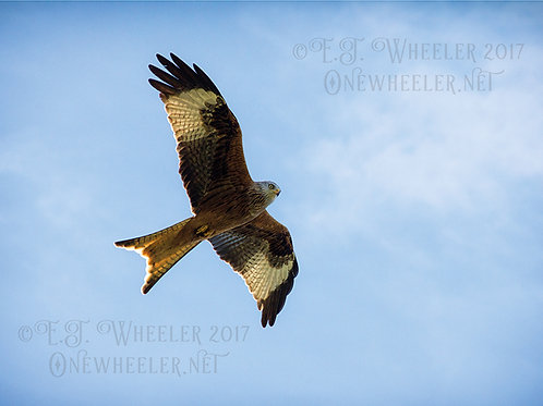 Red Kite (Greeting Card)