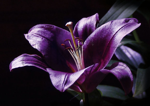 Lily (Greeting Card)