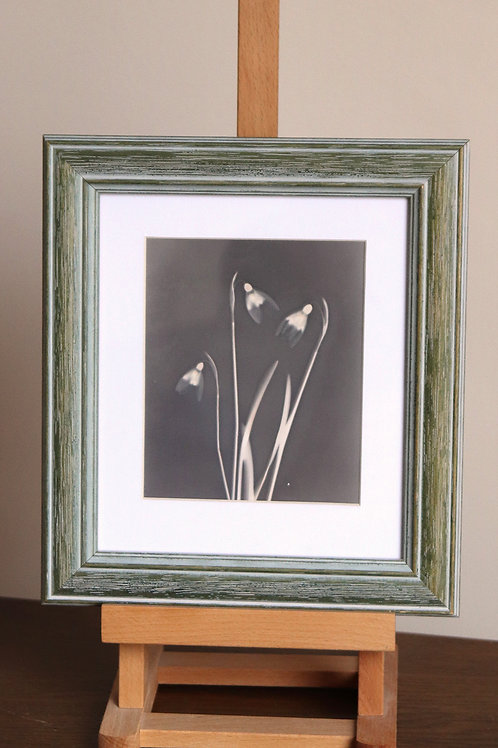 Snowdrops (Framed lumen print)