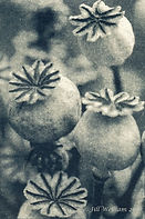 poppy-seed-heads-web_orig.jpg