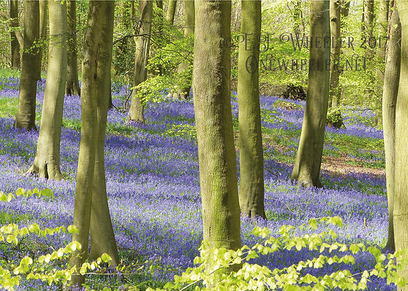 Bluebell Wood (Greeting Card)