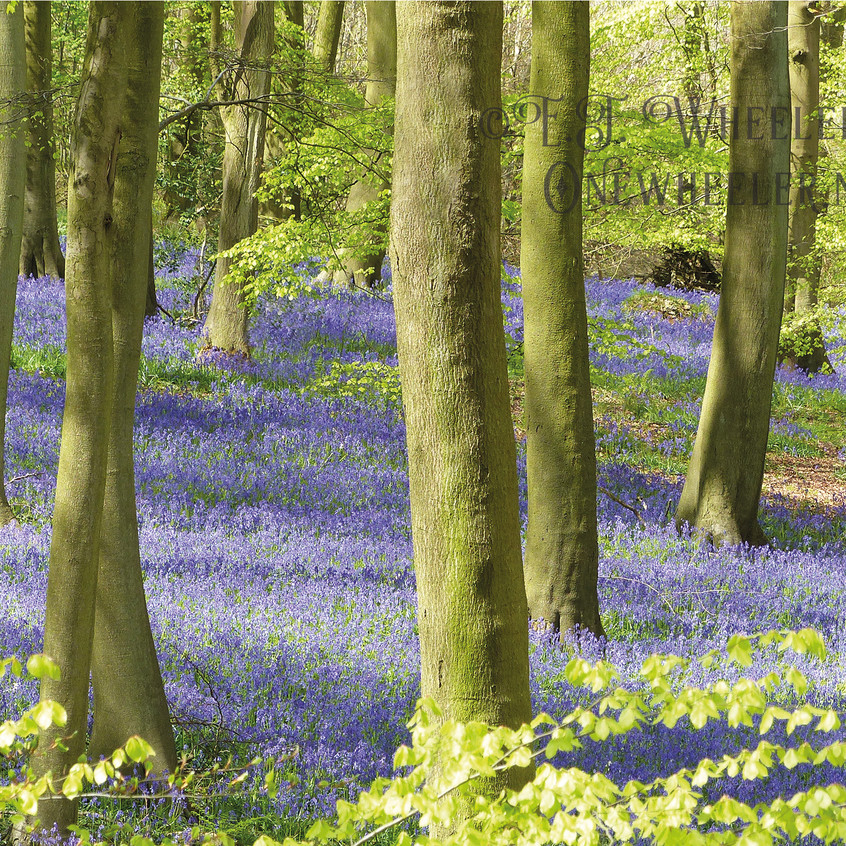Bluebells watermarked