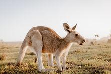 closeup-kangaroo-dry-grassy-field-with-b