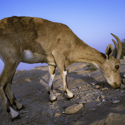 Get lost in the Negev desert and stumble upon the Ibex