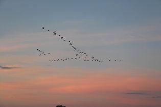 migratory-birds-2711613_1920.jpg