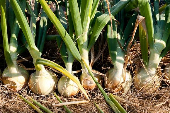 Onion: White (per lb.)