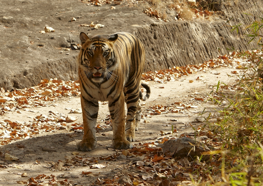 A04_0600_Bengal_Tiger_in10a_784Q9249