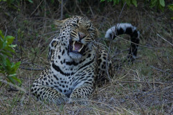 1701_8000_22ky-African_Leopard--1110292