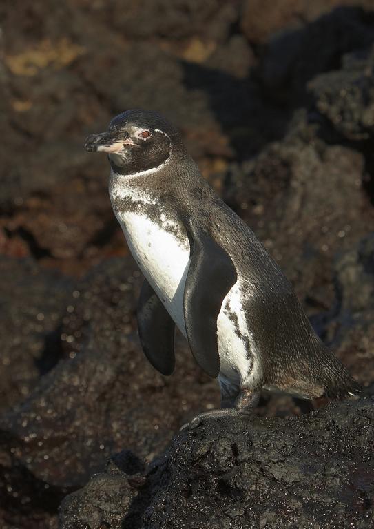 5500_N41_Galapagos_Penguin_D07a_Santiago_784Q5695