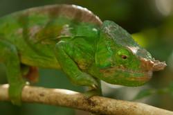 K85_1000_Nose-horned_Chameleon_(C)_mg12a-5575