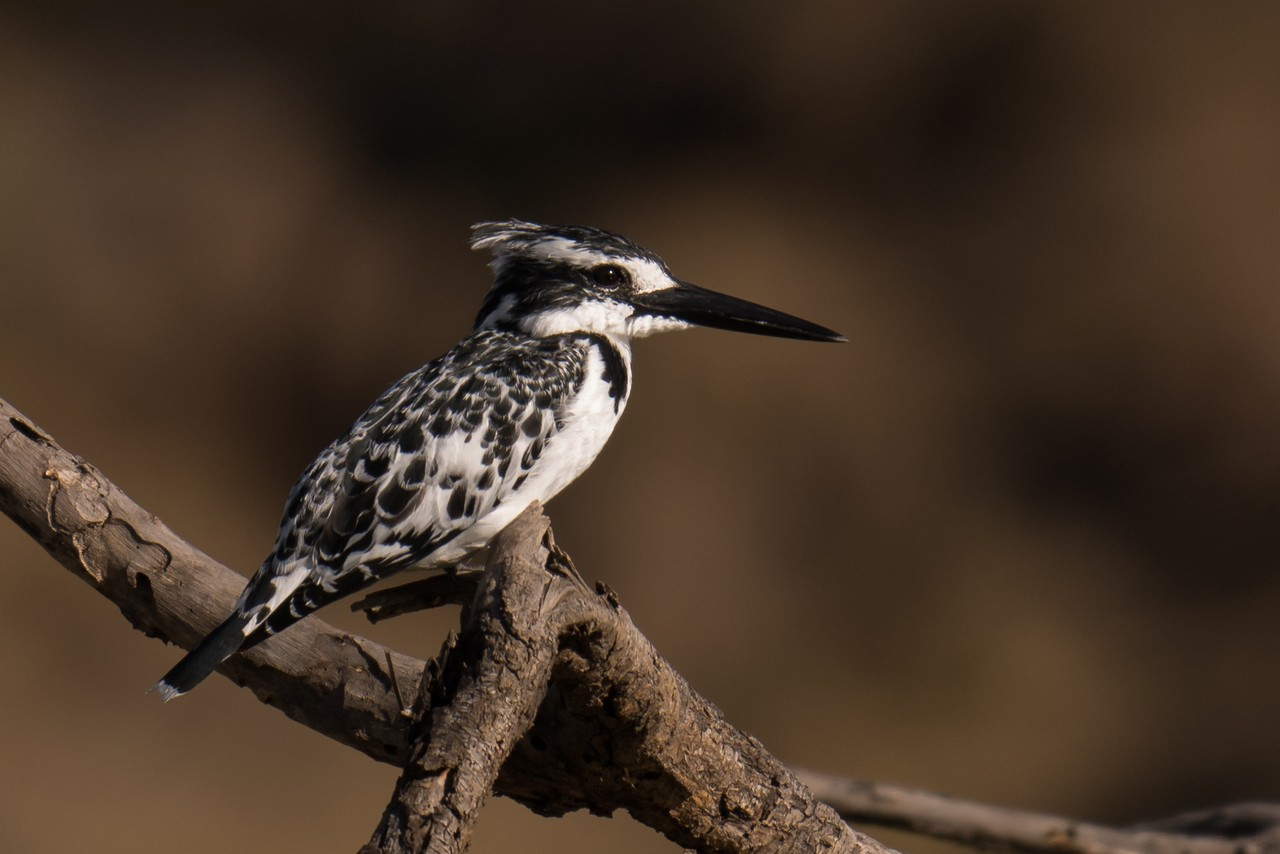 1701_2510_23ky-Pied_Kingfisher-1030107