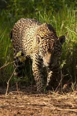 A01_0200_Jaguar_br12a-1481