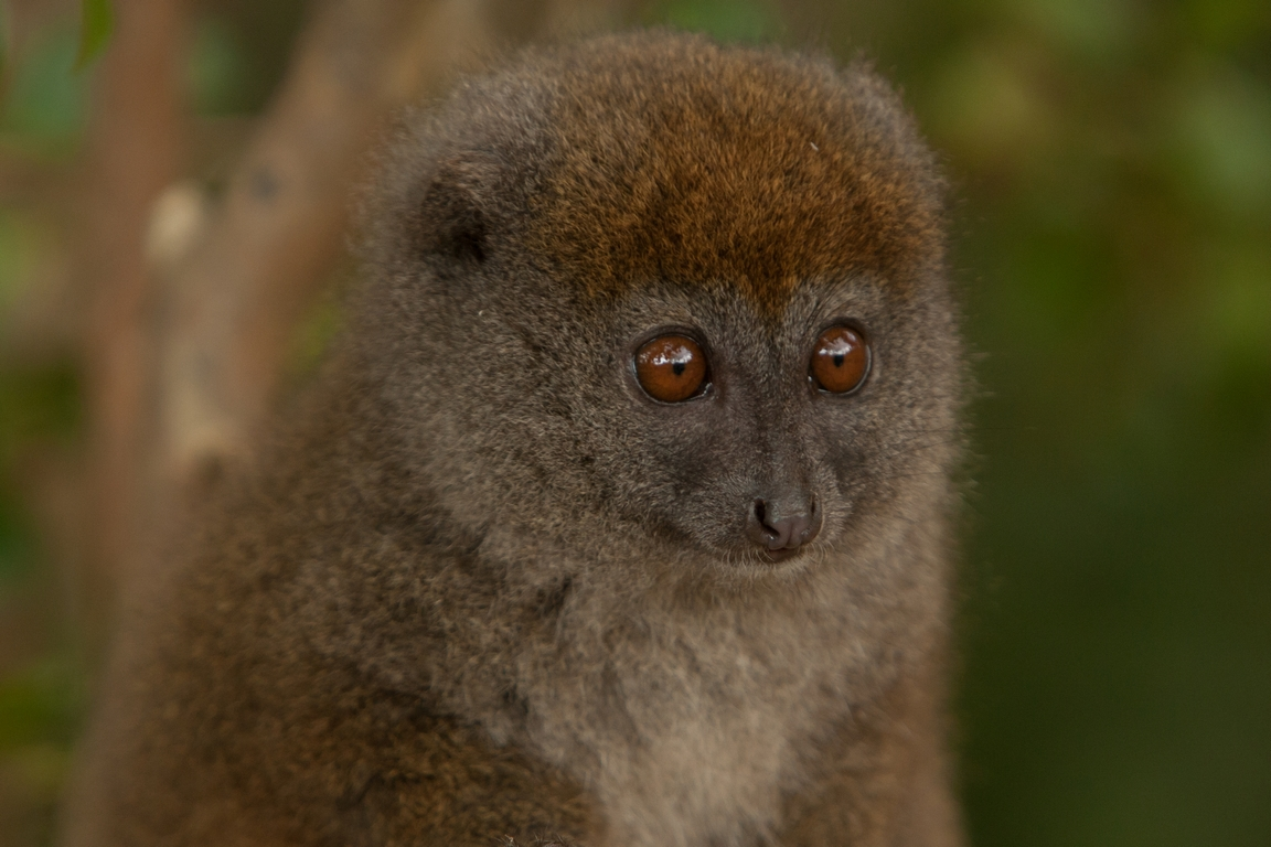 H41_1000_Eastern_Grey_Bamboo_Lemur_mg12a-5738