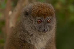 H41_1000_Eastern_Grey_Bamboo_Lemur_mg12a-5738
