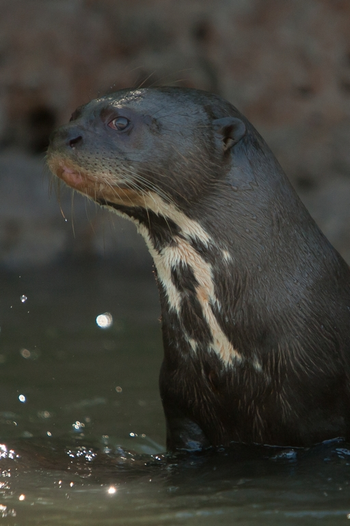 A01_0750_Giant_River_Otter_br12a-1374