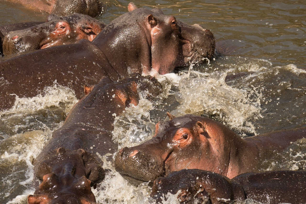 1701_5000_25ky-Hippopotamus-1040133