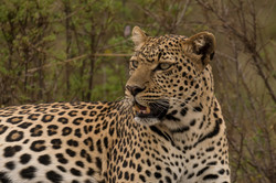 1701_3000_26ky-African_Leopard--1040869