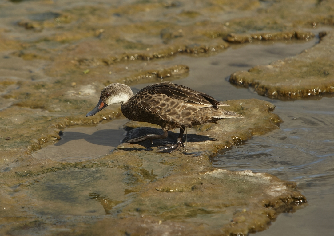 5300_N76_Galapagos_White-cheeked_Pintail_D08c_Santa_Cruz_(Dragon_Hill)_784Q6102