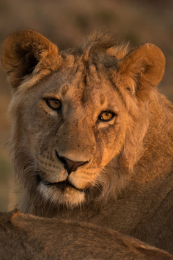 1701_4000_23ky-African_Lion-1020427