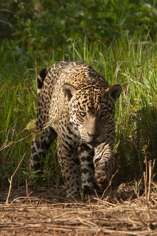 A01_0400_Jaguar_br12a-1482
