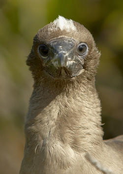 5250_N52_Red-footed_Booby_D06a_Genovesa_784Q5449
