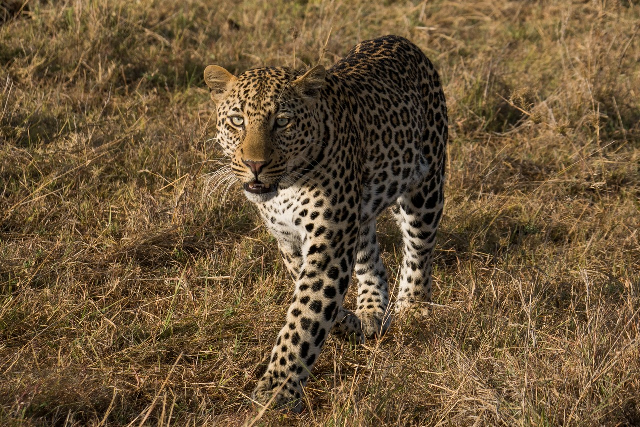 1701_4500_22ky-African_Leopard--1020236
